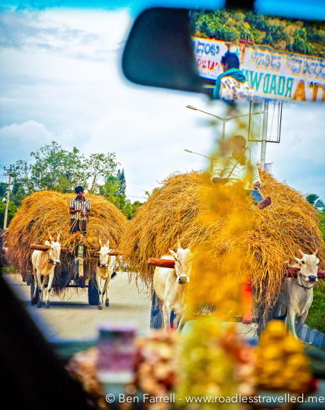Hay-laden oxen come down the wrong side of an Indian highway.