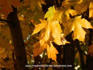 golden hour lighting on maple, 11/9/13