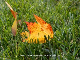 gold and red fallen leaf on green grass