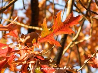 blended colors on oak leaf, 11/9/13