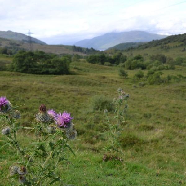 Highland thistles