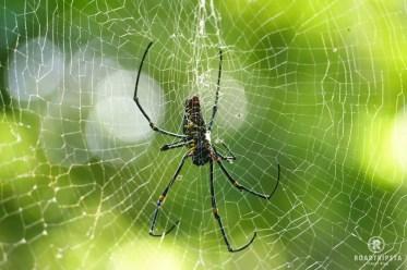Spinne sumatra regenwald