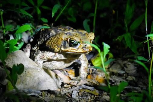 Frosch Corcovado