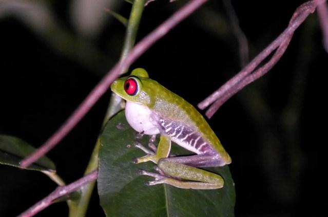 Rotaugenlaubfrosch Costa Rica