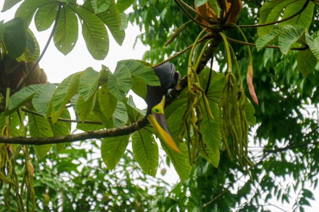 Tukan Corcovado