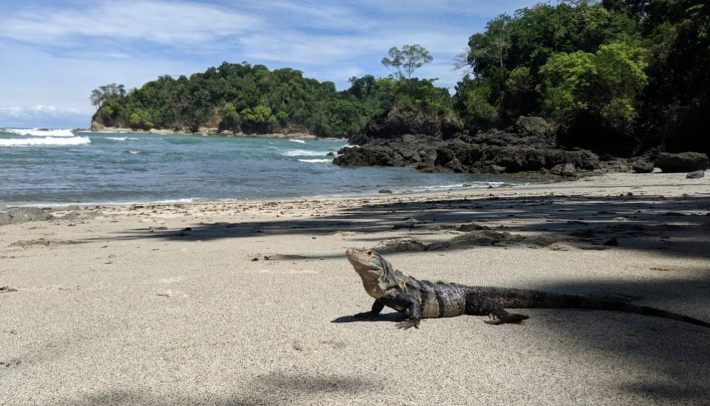 Iguana am Strand - Manuel Antonio Nationalpark