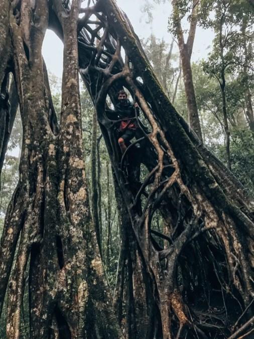 Fikus Tree Monteverde