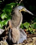 Vogel in Tortuguero