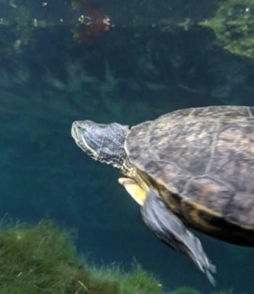 Schildkröte in der Gran Cenote in Tulum