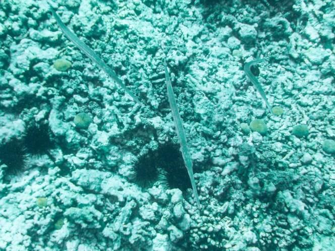 Trompetenfische auf den Seychellen