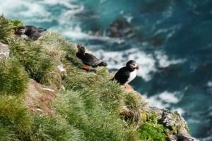 Puffins Westfjorde Island