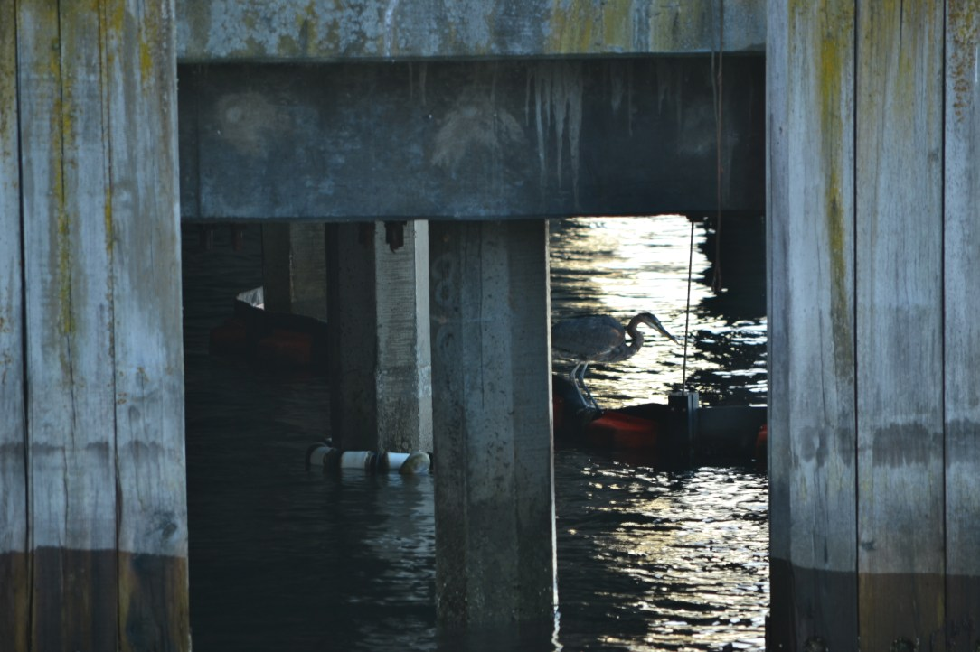 Blue Heron under pier at Seattle Waterfront view from the Edgewater Hotel