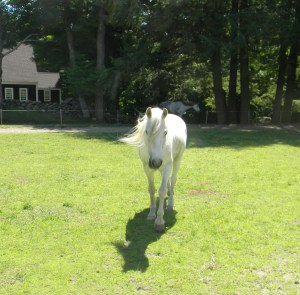 New Arabian Pony