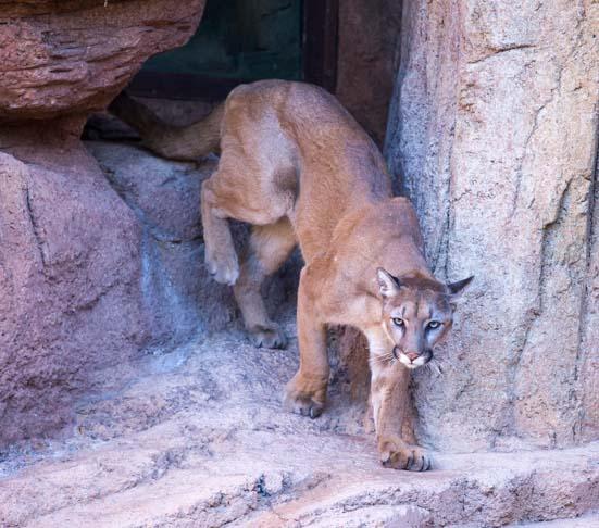 Mountain Lions Tucson Arizona