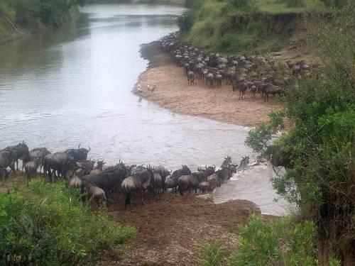 wildebeest-migration-river-crossing-masai-mara-kenya-by-roadsofstone