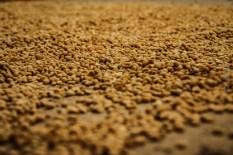 Σπόροι καφέ αφήνονται να στεγνώσουν