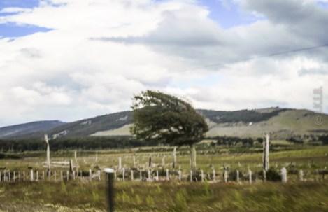 Κουνημένη φωτογραφία, αλλά το δέντρο δείχνει μια καλή εικόνα της έντασης των ανέμων στη περιοχή.