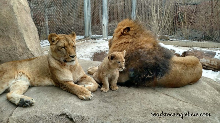 Lion Family at the Denver Zoo