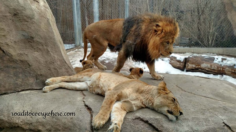 Lion family at the Denver Zoo.