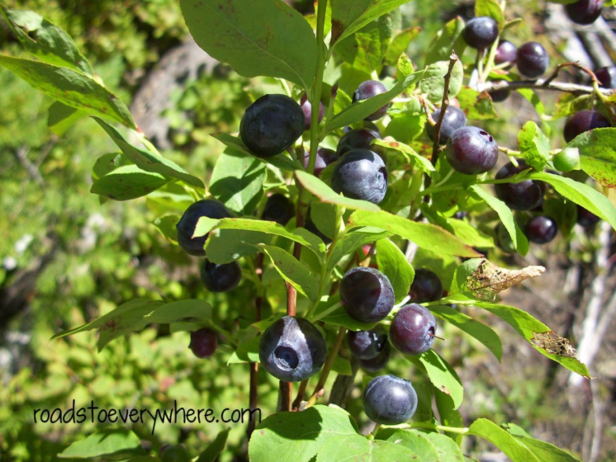 huckleberries2