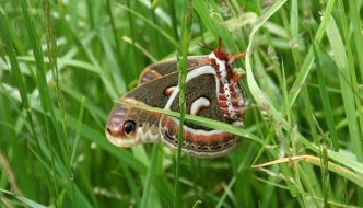 Cecropia Moth at Long Point Provincial Park