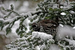 Spruce Grouse feeding on needles in Algonquin Park