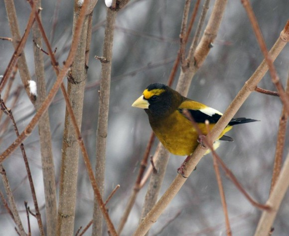 Evening Grosbeak in Algonquin Provincial Park, Ontario