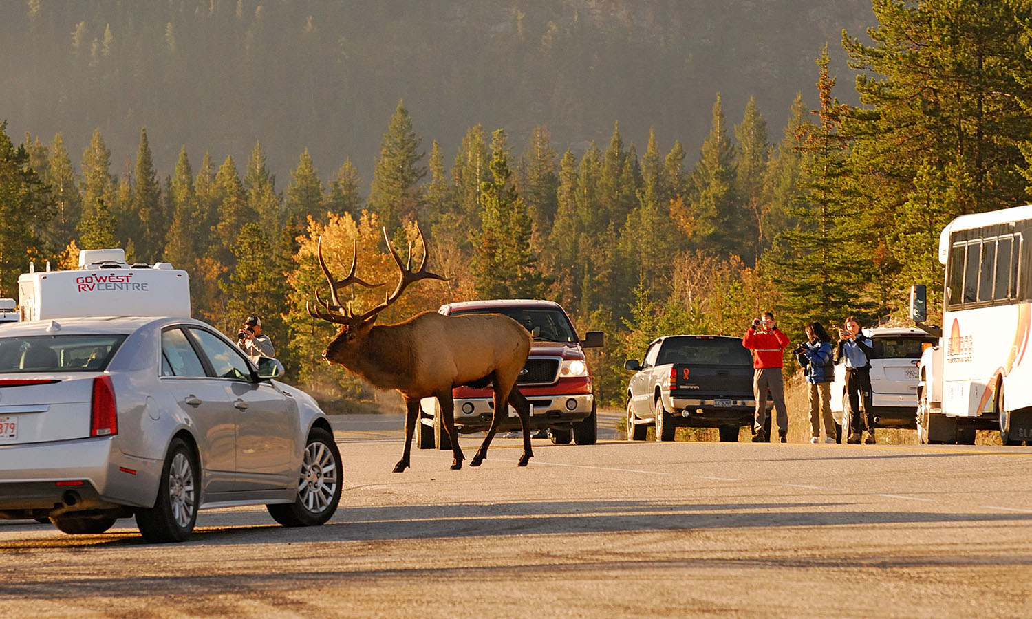 bull elk crosses the highway near Jasper, Jasper National Park