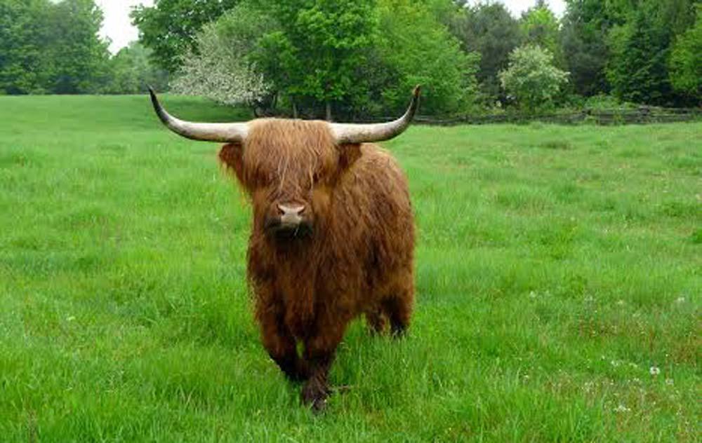 steer on Vernon Wheeler's farm