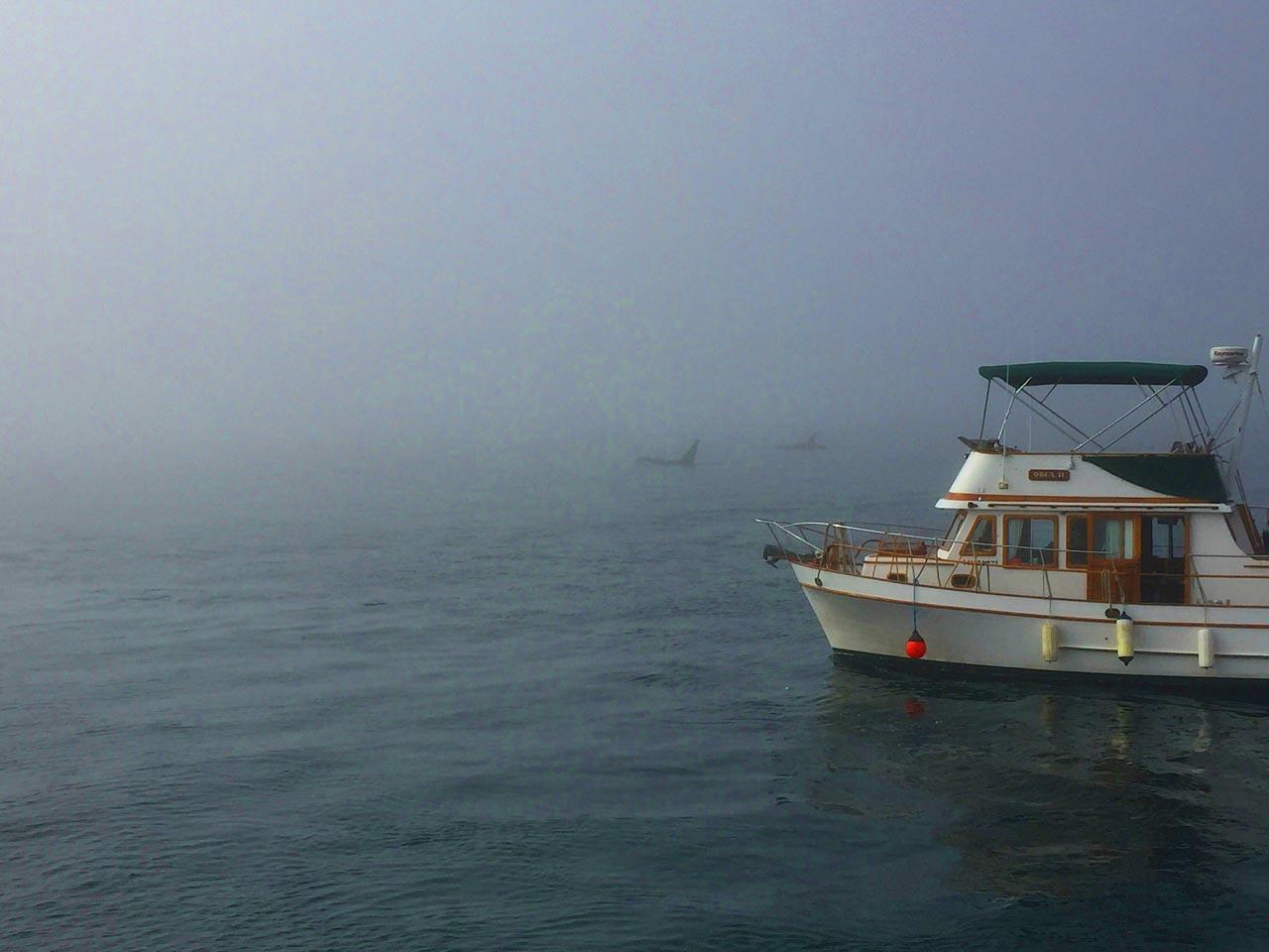 Killer whales in Blackstone Strait