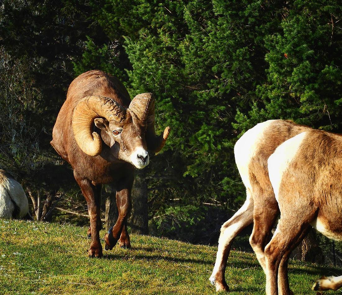 Bighorn sheep rams fight