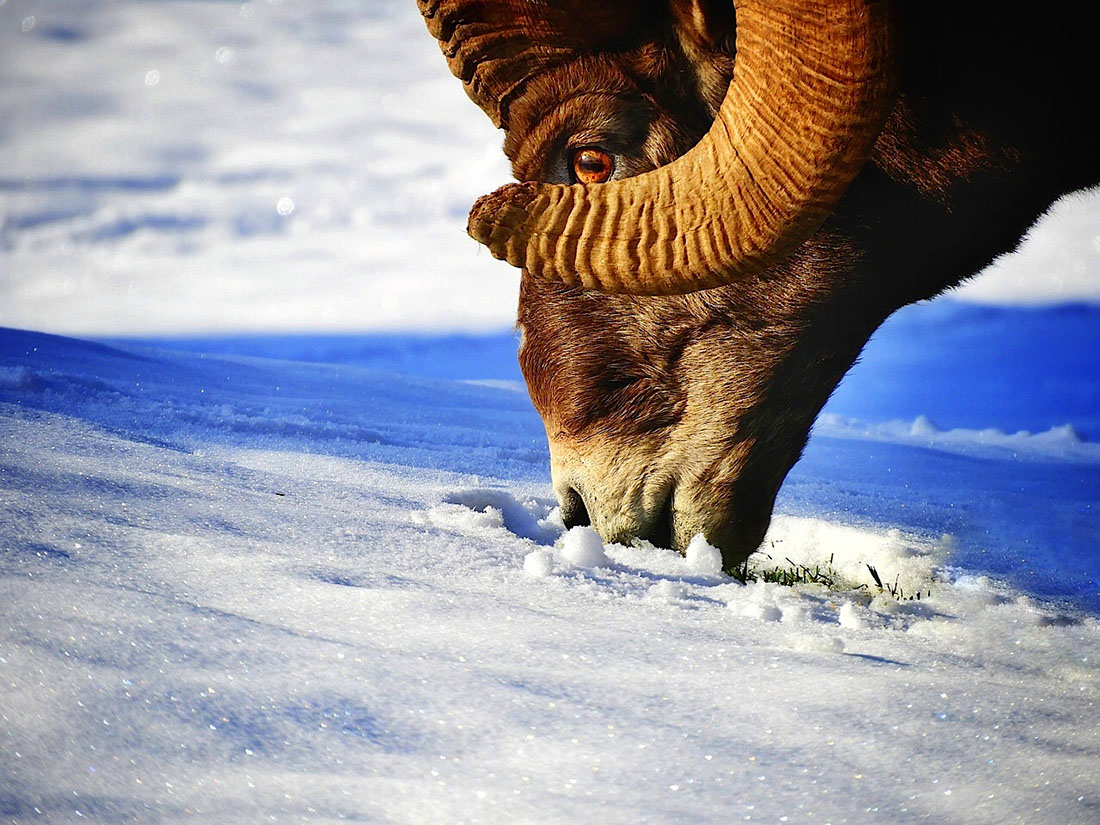 Bighorn sheep enter Radium to graze