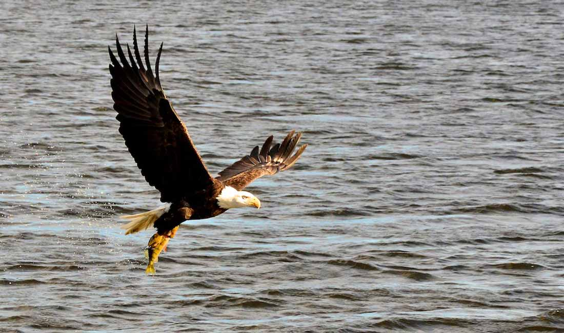 Bald eagle catches a fish on Lake of the Woods