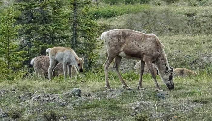 caribou in Ivvavik National Park, Herschel Island Territorial Park (Qikiqtaruk)