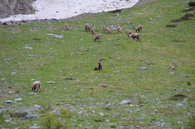Bouquetins vus dans la descente de l'Umbrailpass