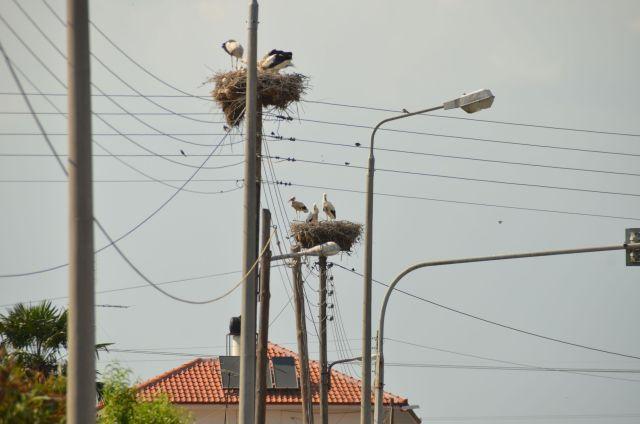 Cigognes en Macédoine