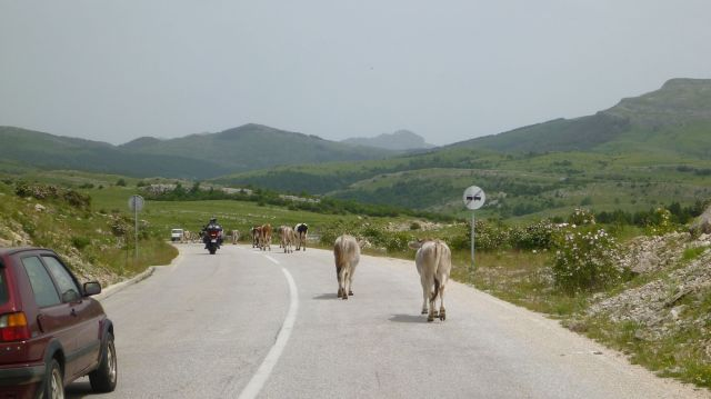 Vaches bosniaques, MEUUH !