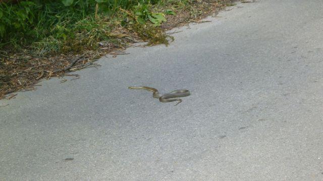 Serpent croisé en route