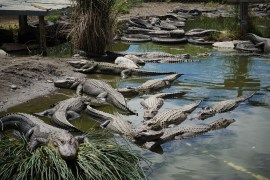 Large group of alligators in a pond
