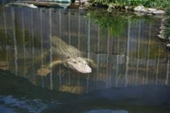 albino alligator in a pond