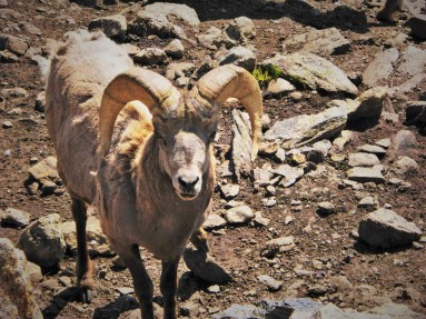 big horn sheep looking at you