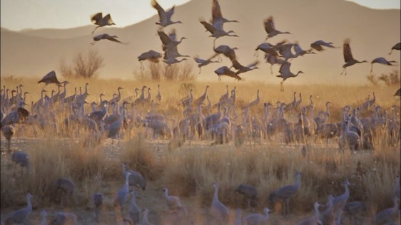 Migration of Sandhill Cranes at dawn