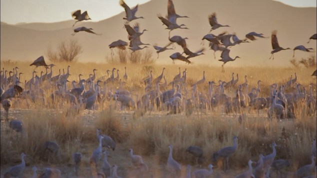 Migration of Sandhill Cranes at dawn