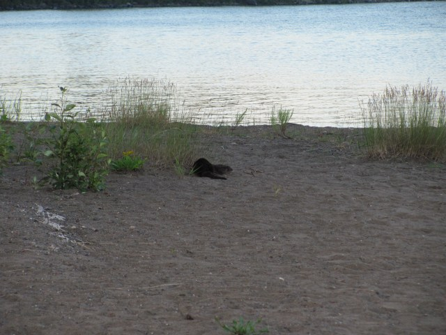 Otter at Daisy Farm on Isle Royale National Park