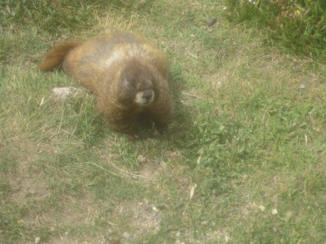 Marmots on the Tundra Communities Trail: Rocky Mountain National Park