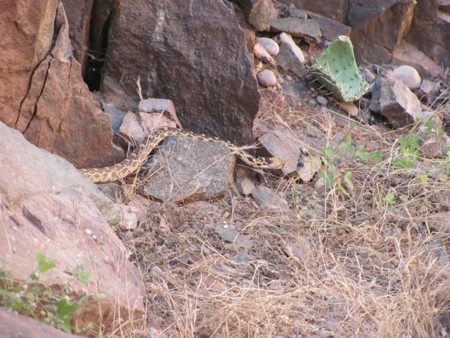 Grand Canyon Rim to Rim with kids: Snake We Saw on the North Kaibab Trail