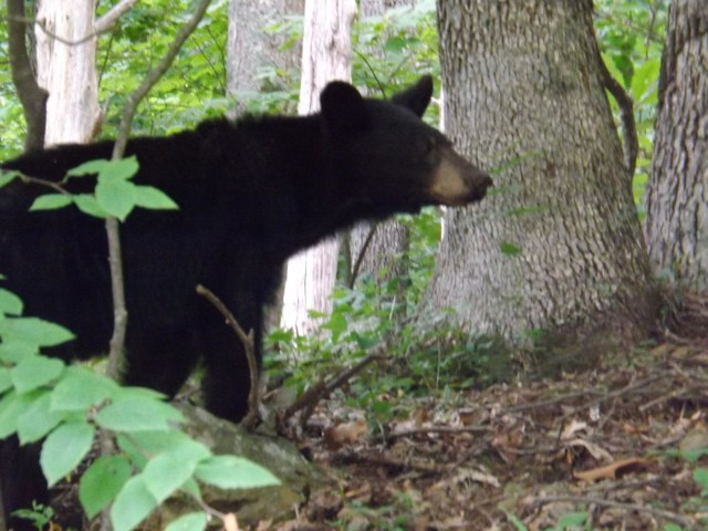 How to Stay Safe in Bear Country - Black Bear of Shenandoah