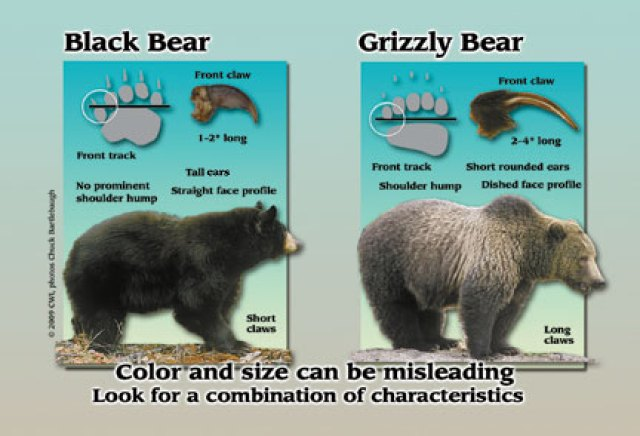 How to Stay Safe in Bear Country Center For Wildlife Information Bear Comparison