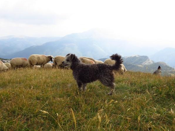 Pumi herding dog