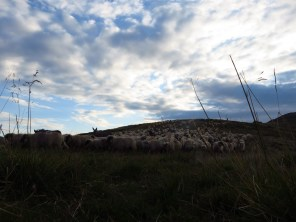 Sheep approaching my tent - spot the donkey